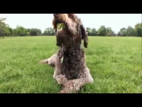 dogs 101  labradoodle