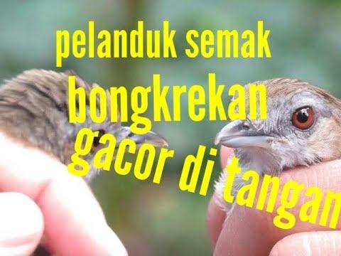 Suara Panggilan Burung Pelanduk Topi Hitam Pikat - Mp3 Download ... 6d724683dd