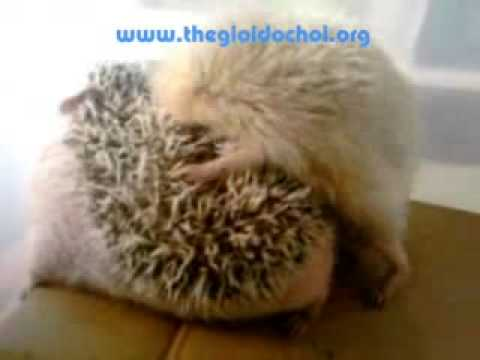 How do Hedgehogs makelove?