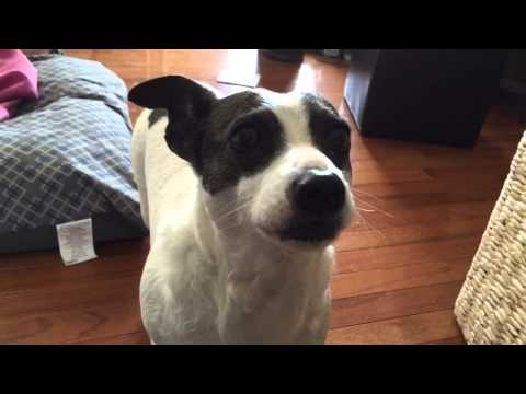 Cute rat terrier dog cries and asks to jump on the couch