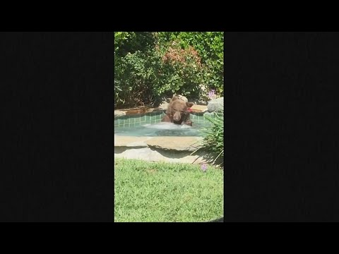 Watch: Margarita-loving bear relaxes in California hot tub