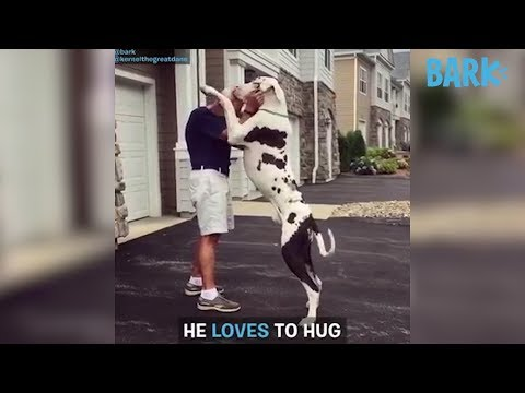 download KERNEL the GREAT DANE Is Awkward AF and We LOVE Him | DOGS YOU SHOULD KNOW