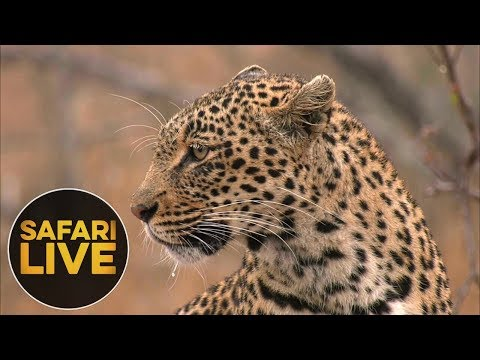 safariLIVE - Sunrise Safari - August 15, 2018