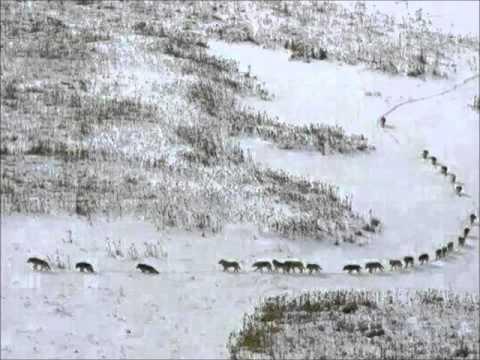 Как передвигается стая волков