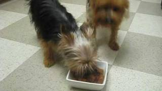 If You Are Looking For The Perfect Yorkshire Terrier Breeder, Look No More...