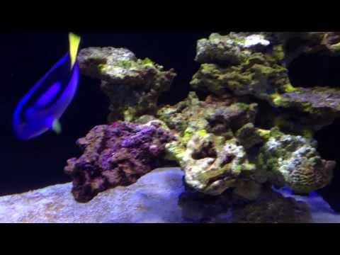 200g Reef Tank - Episode 23 - Tangs