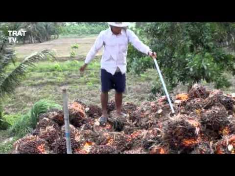 เรียกประชุมเกษตรกรชาวสวนปาล์มพัฒนาคุณภาพผลผลิต