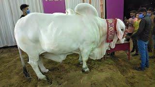 Sohrab goth Cow Mandi vip mall bakra Eid 2020