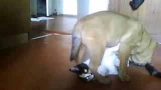Борьба кошки и шарпухи :)