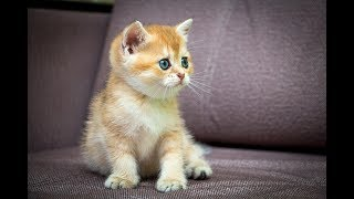 Кошка Berta SunRay Британский котенок черного золотого затушеванного окраса BRI ny 11