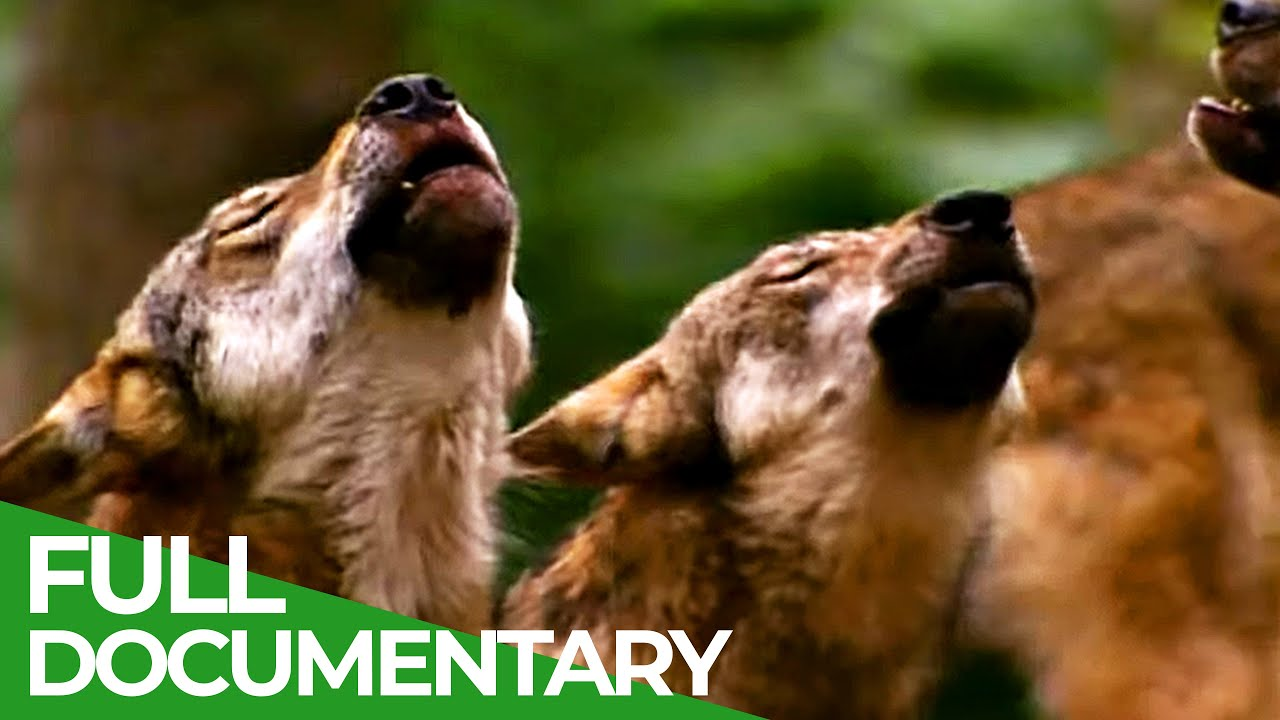 Global Wolf | Free Documentary Nature