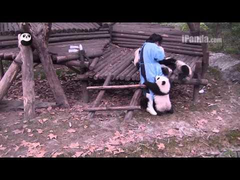 Keeper feeding panda cubs bottled milk Part 2