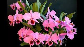 Como Aumentar O Número De Flores Da Sua Orquídea