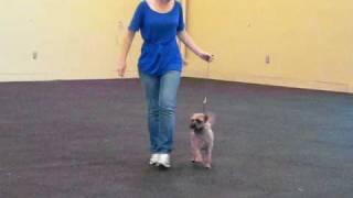 Abby (border Terrier)