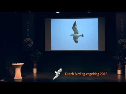 Identification of the Common gull complex - Peter Adriaens