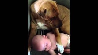 Shar Pei Watching Over Baby