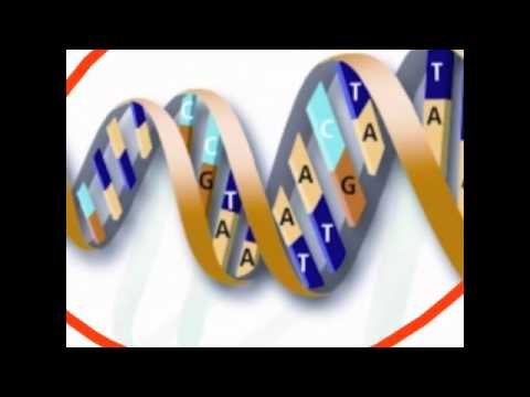 The relationship between nucleus, chromosome, dna, genes, and alleles