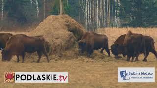 Żubry nieopodal Puszczy Białowieskiej