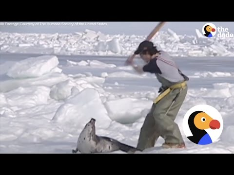 Vicious Seal Hunt Killing Thousands Of Baby Seals [GRAPHIC] | The Dodo