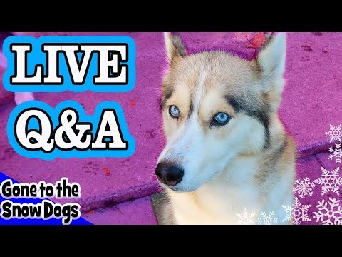 LIVE Q&A with Gone to the Snow Dogs   Siberian Huskies Live