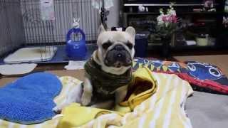 French Bulldog HARUTA。男の子。暇になるとこねています。理由はわかり...