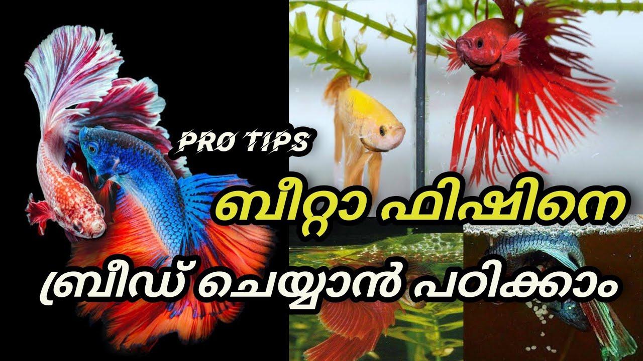 How to Bread Betta Fish Malayalam Betta Fish complete Breading Tips