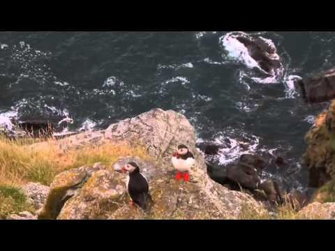 Puffin bird ,Florø,Norway