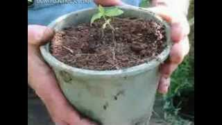 How To Grow Weed Outdoors thumbnail