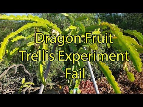 Dragon Fruit Trellis Experiment Fail