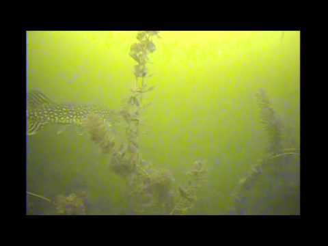 Northern Pike and carp under the ice Lake Lansing