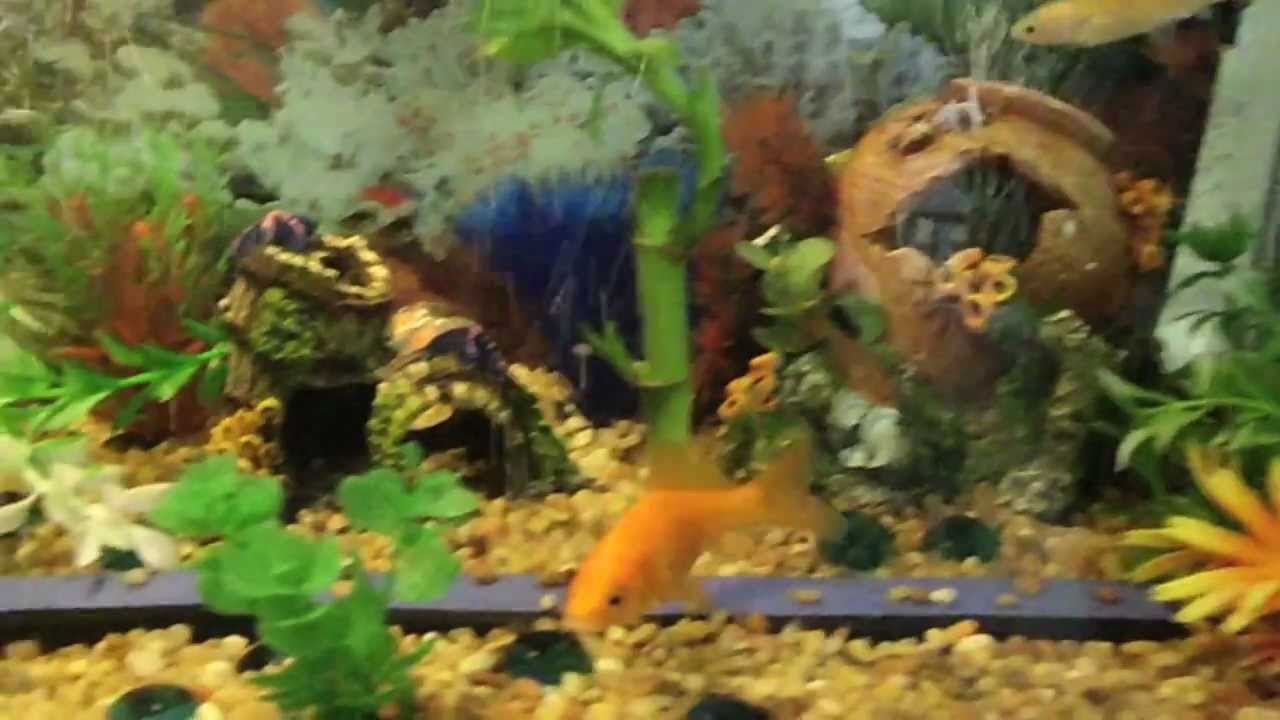 10 gallon fish tank contains frogs and tropical fish youtube for Fish tank frogs