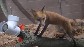 Red fox exploring his exhibit