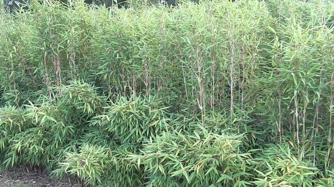 Bambus Bambushecken Freiland Sichtschutz
