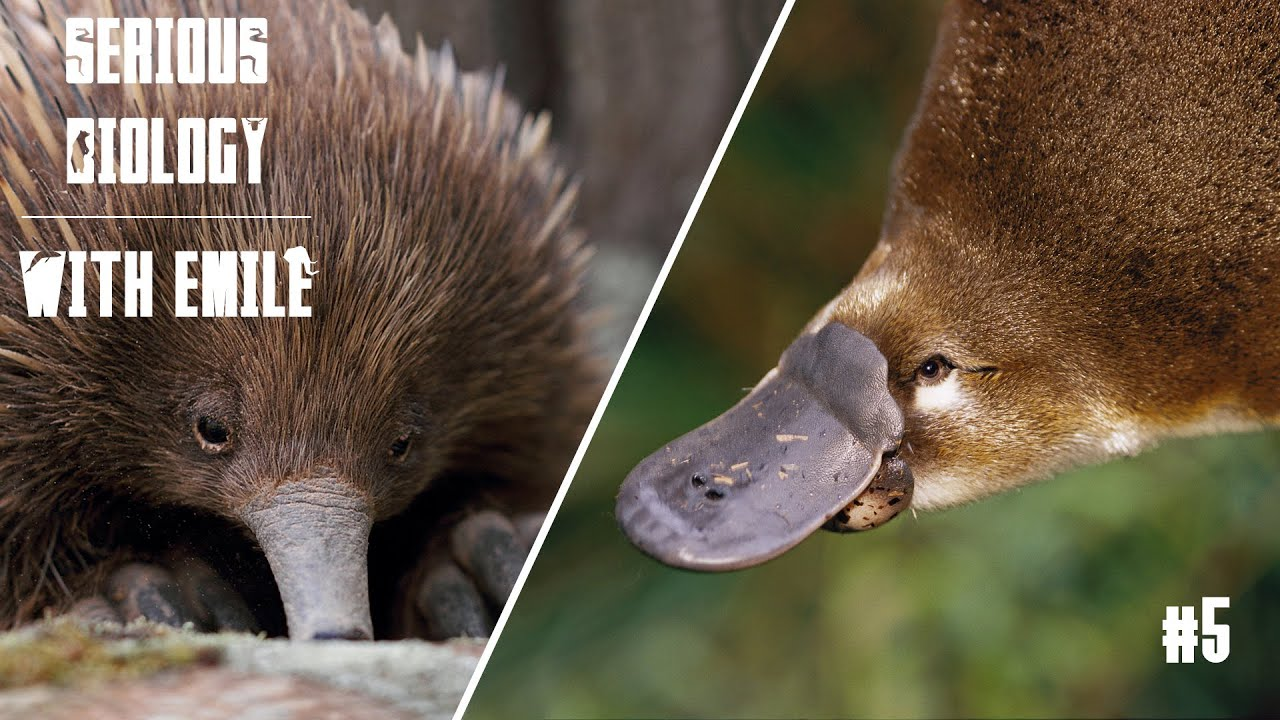platypus and echidna egglaying mammals serious biology