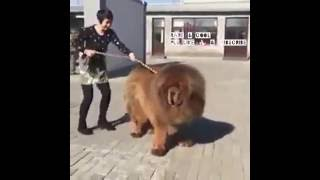 super big tibetan mastiff