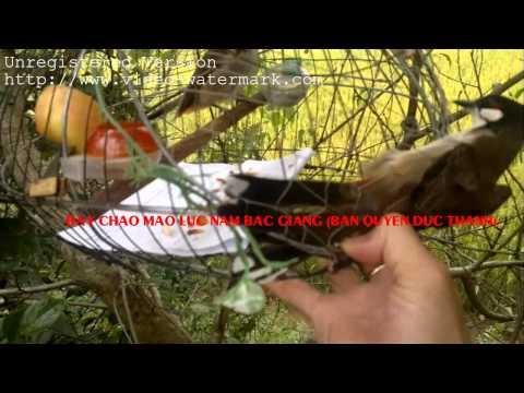 Bay chao mao luc nam BG 21102011003 new