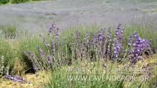 Μέλισσες σε χωράφι με λεβάντα στη Λούβρη Βοΐου Κοζάνης