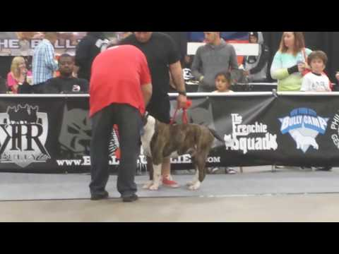 Allentown Bully Convention 2: American Bulldog