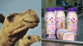 Детское питание из верблюжьего молока начинают делать в ОАЭ
