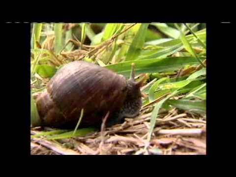 Snails Slip Back Into Native Habitat On Waianae Mountain Range