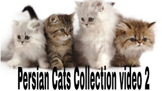 Persian Cats Collection video 2