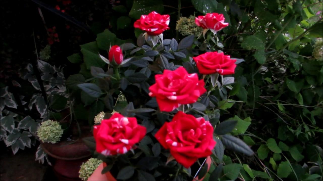My Beautiful New Rosier Miniature Rose Bush Youtube