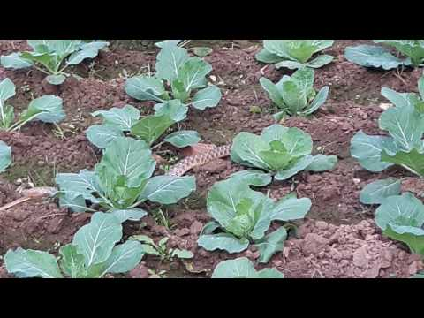Poisonous Snake found in Agri. Vegetable Farm in 2017.
