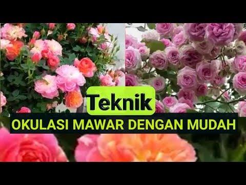 Okulasi Mawar Satu Batang Banyak Warna Bunga Indah Youtube