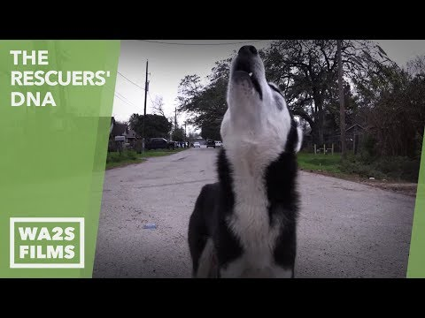 HOMELESS STARVING HUSKY PUPPY RESCUED by Forgotten Dogs with Hope For Paws! Ep 30 The Rescuers' DNA