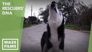 STARVING HUSKY PUPPY RESCUED by Forgotten Dogs! The Rescuers DNA - Hope For Dogs | My DoDo