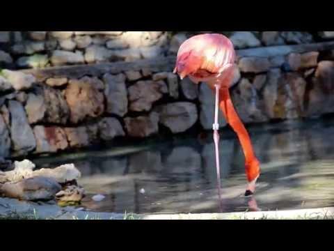1049 Flamingo standing on one leg one legged ostrich thumbnail