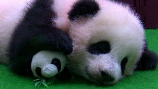 Adorable Panda Cub Naps Through Her Public Debut