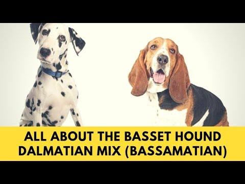 All About The Basset Hound Dalmatian Mix (Bassamatian)