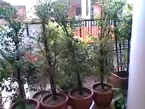 ต้นโมกหน้าบ้าน-1